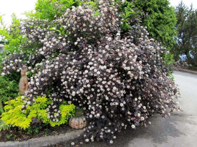 Пузыреплодник калинолистный может за год прибавить в высоту 80-90 см