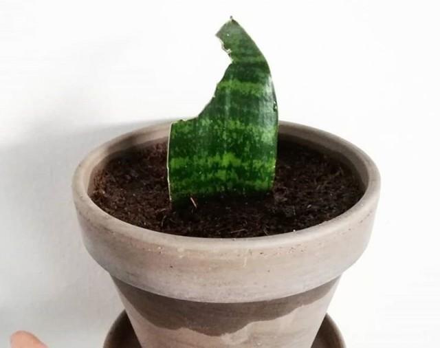 Сансевиерию Хана размножают так же, как длиннолистные сансевиерии – листовыми черенками
