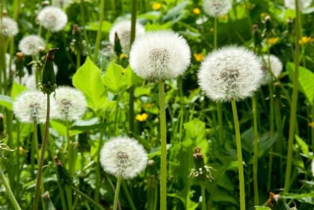 Одуванчик – враг номер один для ровного красивого газона