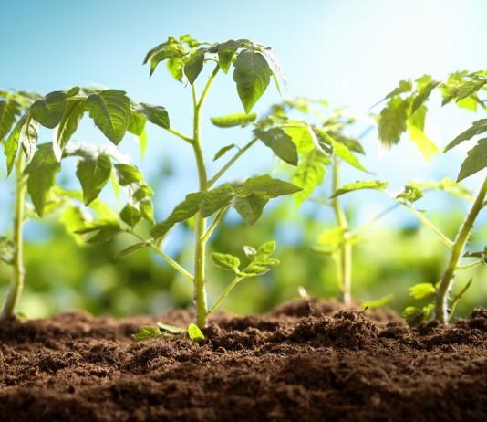 Высаживаем рассаду томата правильно