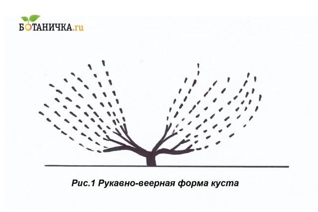 Рукавно-веерная схема формирования винограда