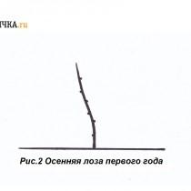 Формировку куста по рукавно-веерной схеме начинают с выгонки однолетней лозы
