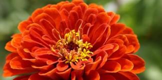 Цинния - лучшие разновидности и особенности выращивания