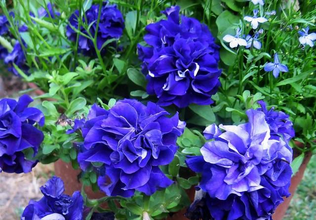 Самым сильным запахом среди махровых петуний обладают фиолетовые сорта