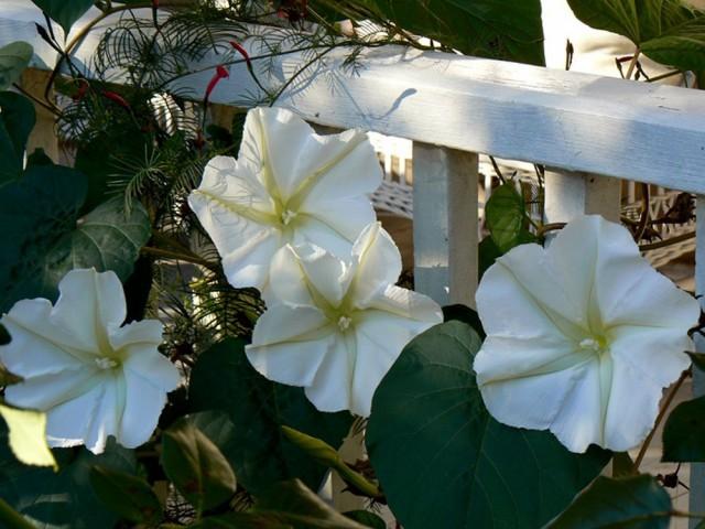 Ипомея лунноцветущая широко применяется для вертикального озеленения сада