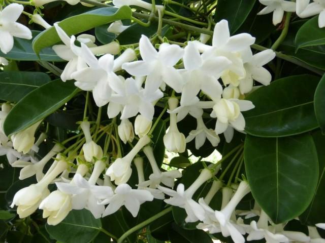 Цветки стефанотисов столь ароматны и элегантны, что не случайно столь любимы в букетах для невест