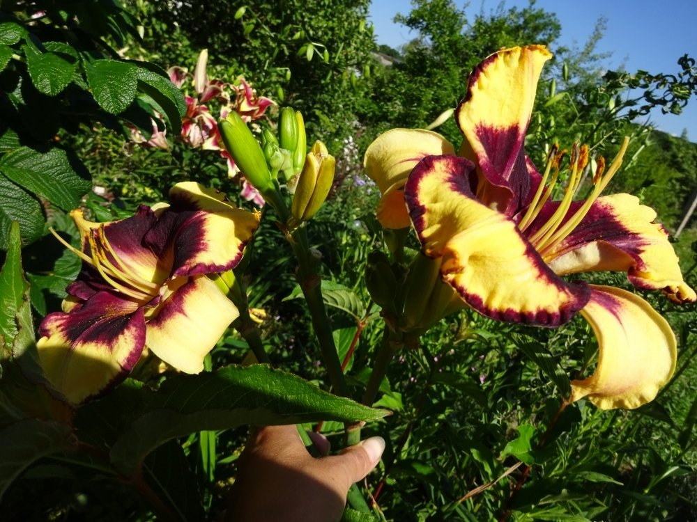 Hemerocallis-Calico-Jac-3