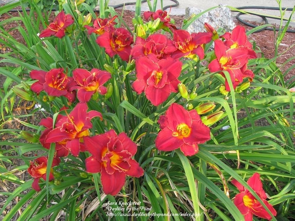 Hemerocallis-Highland-Lord-6