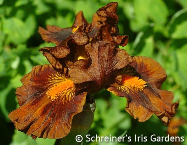 Iris-Kahuna-1