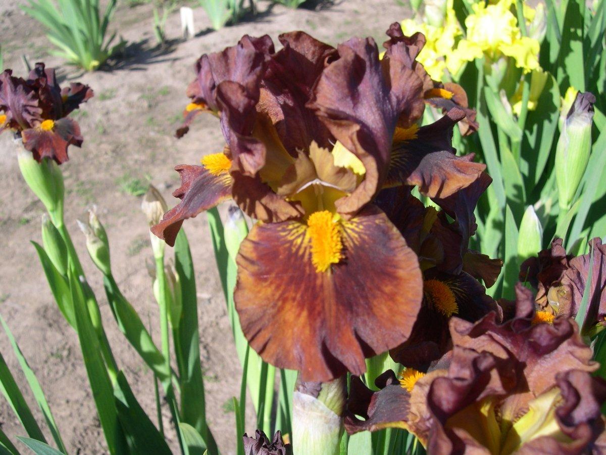 Iris-Kahuna-2