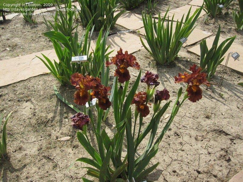 Iris-Kahuna-3