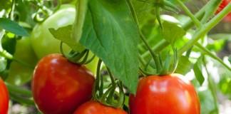 «Ордан» - эффективная защита и лечение овощных культур от болезней