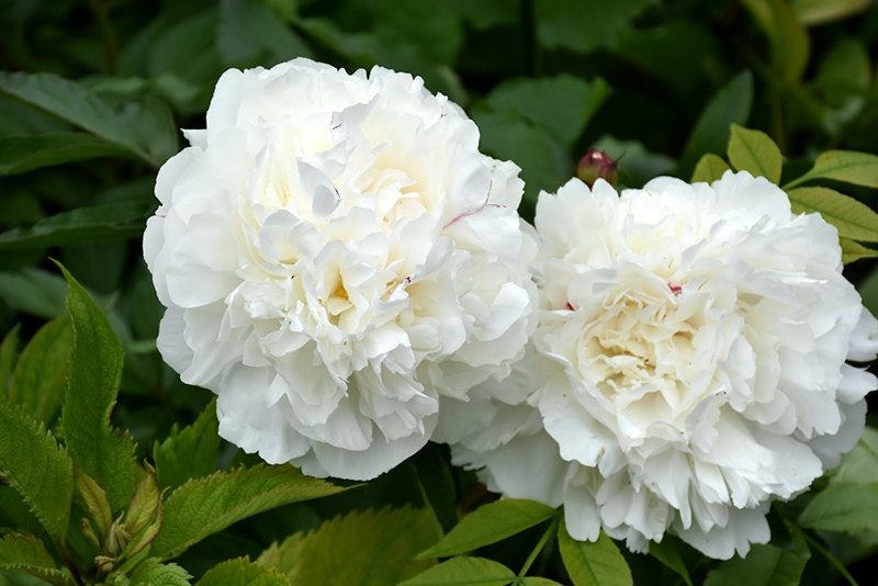 Paeonia-lactiflora-Duchesse-de-Nemours-1