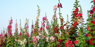 Как бороться с ржавчиной на цветах и декоративных деревьях