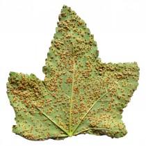 Появившись на растениях, ржавчина приводит к гибели, в первую очередь, листья, потом - побеги
