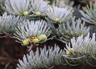 Придерживайтесь простого и четкого плана ухода за хвойными растениями: