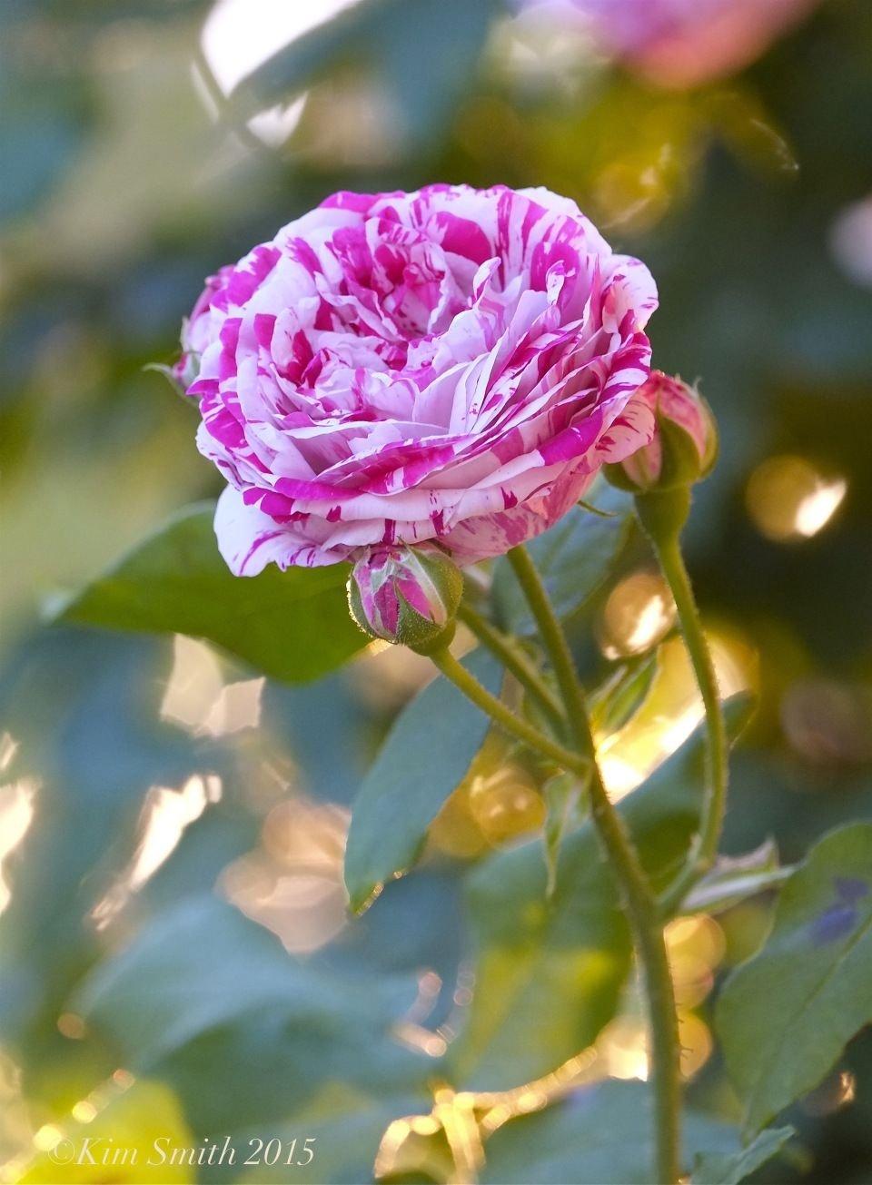 Rosa-Variegata-di-Bologna-1