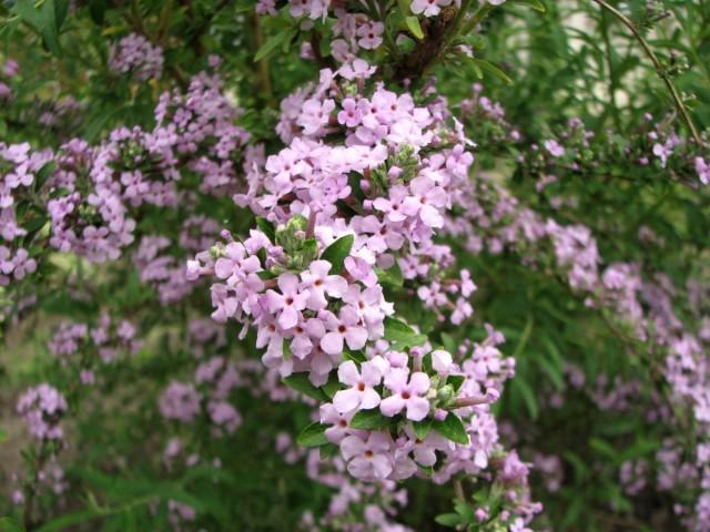 Один из недостатков буддлеи очереднолистной - уже отцветшие цветки стоит удалить