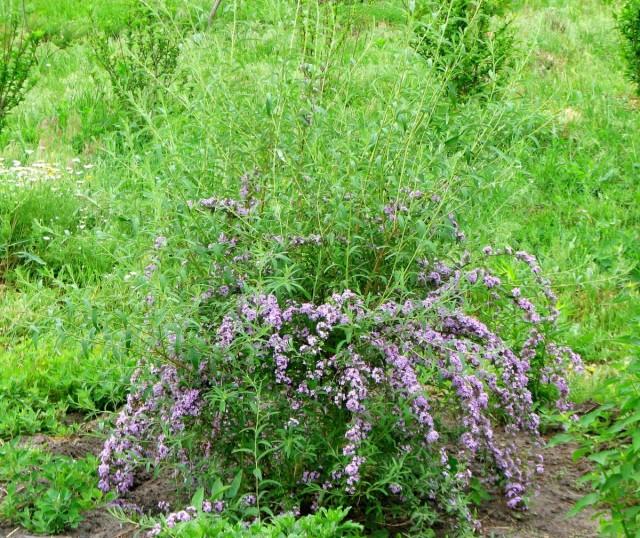 Моя буддлея очереднолистная сейчас выглядит немного смешно - много молодых побегов вверху, а цветение в нижней части куста.