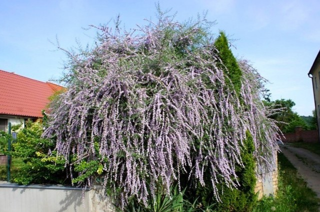 Фиолетовый шар ветвей буддлеи очереднолистной - изумительное зрелище