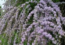 6 причин выращивать буддлею очереднолистную