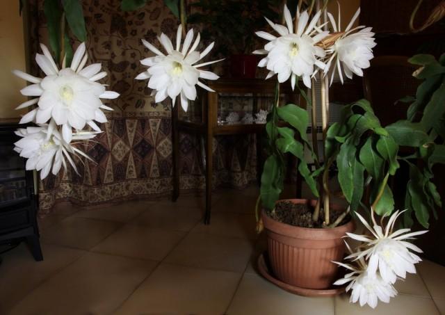 Эпифиллюм остролепестный (Epiphyllum oxypetalum)