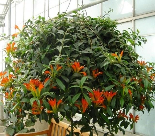Эсхинантус красивый (Aeschynanthus speciosus)