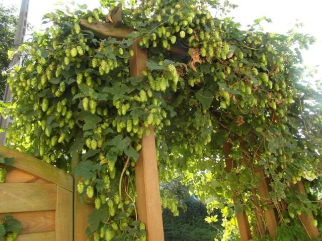 Хмель может стать настоящим украшением сада или двора