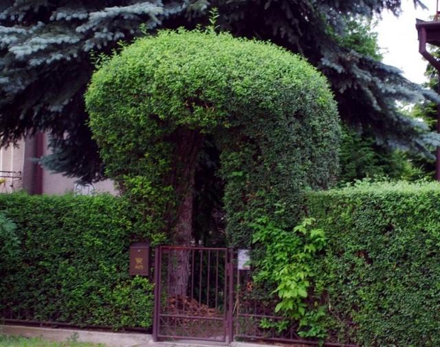 Бирючина - кустарник, которому стрижкой можно придать любую форму