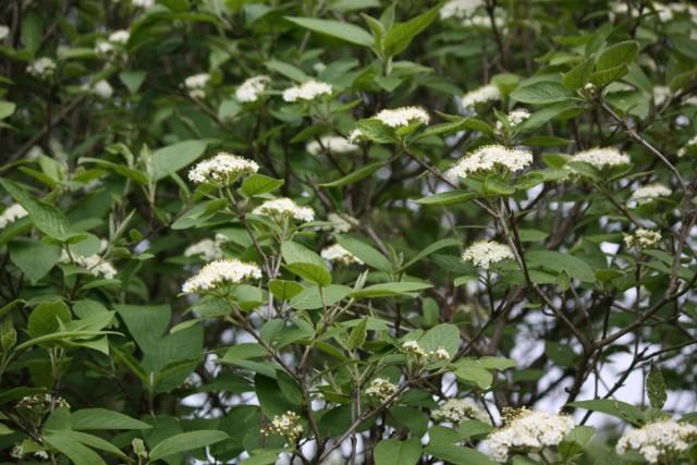 Калина гордовина отлично подходит для создания живой изгороди в полутени