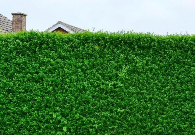 Лучшие кустарники для создания живой изгороди в полутени