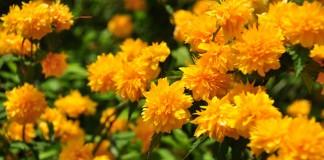 Керрия японская — идеальный кустарник для «ленивых» садоводов