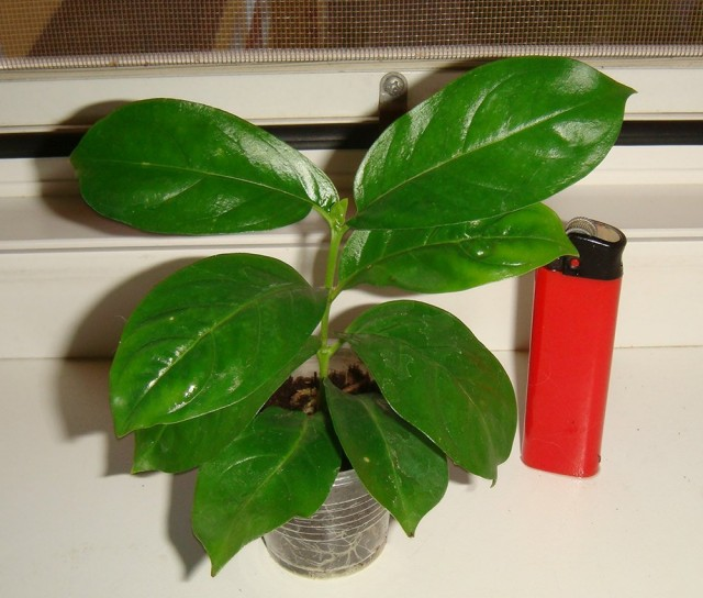 Кубанола доминиканская считается одним из самых сложных растений для самостоятельного размножения