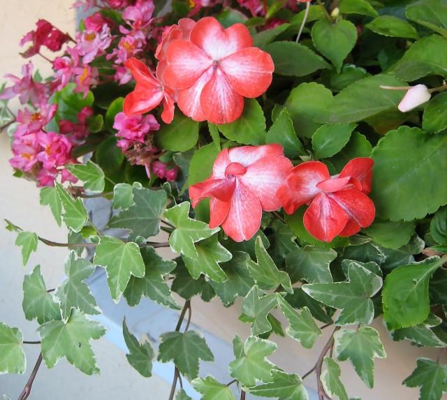 В контейнерных композициях плющ можно использовать, как эффектное ампельное растение