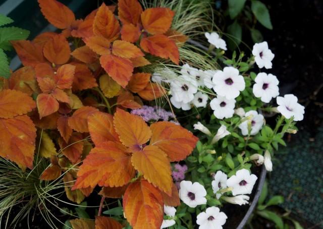 Настоящее великолепие многоцветной окраски колеусов раскрывается при выращивании их в саду