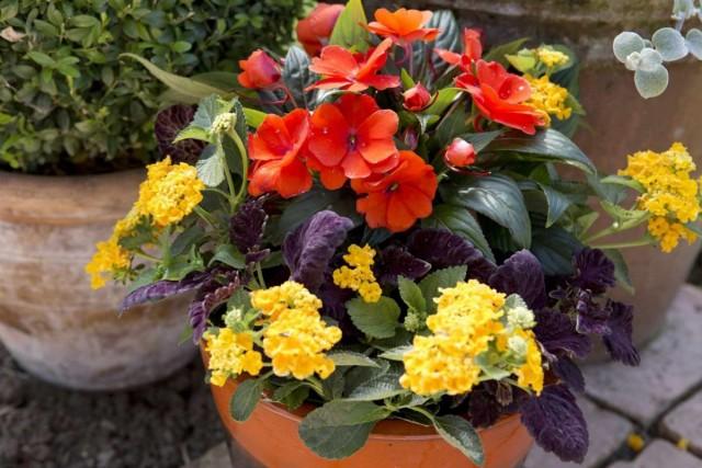 В цветочных композициях лантану применяют в качестве оригинального дублера вербены