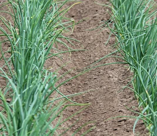 «Миура» легко избавит от пырея и злаковых сорняков