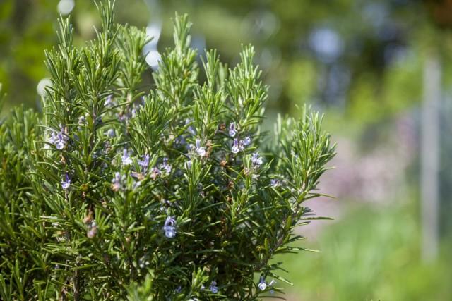 Розмарин обыкновенный, или Розмарин лекарственный (Rosmarinus officinalis)