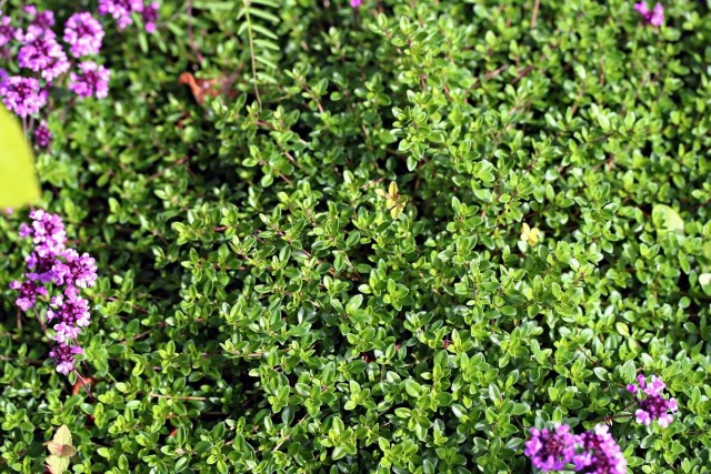 Тимьян обыкновенный (Thymus vulgaris)