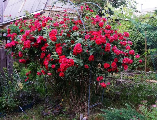 Роза «Фламментанц» («Танец пламени»)