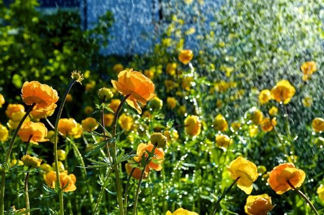 Многолетние растения, которые украшают мой сад в июне