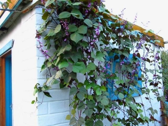 Вьющуюся спаржевую фасоль можно успешно использовать для вертикального озеленения