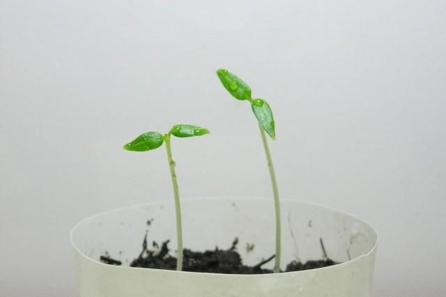 Цифомандру можно выращивать из черенков или классическим методом - из семян