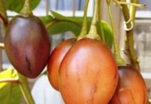Цифомандра — выращиваем томатное дерево в комнате