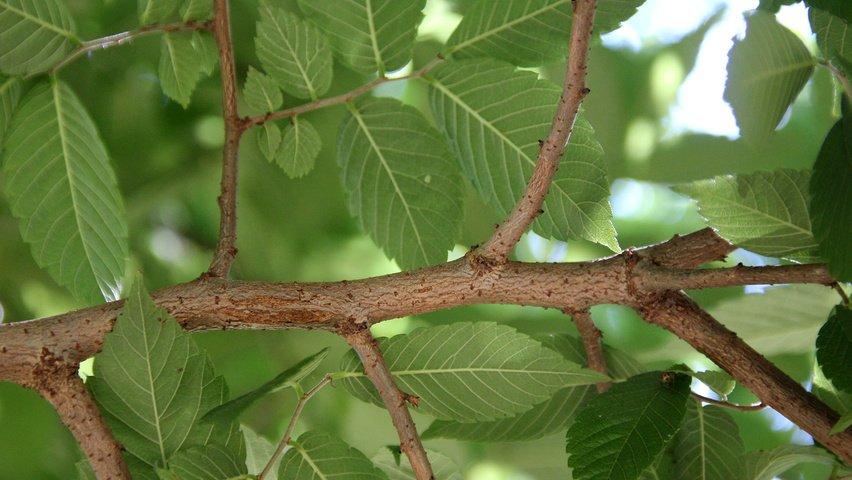 zelkova-serrata-twigs-3