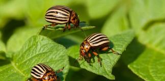 «Жукоед» — для эффективной борьбы с колорадским жуком на картофеле