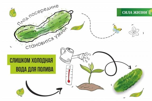 Если поливать огурцы холодной водой, плод сужается в середине