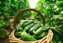 5 эффективных органических подкормок для огурцов