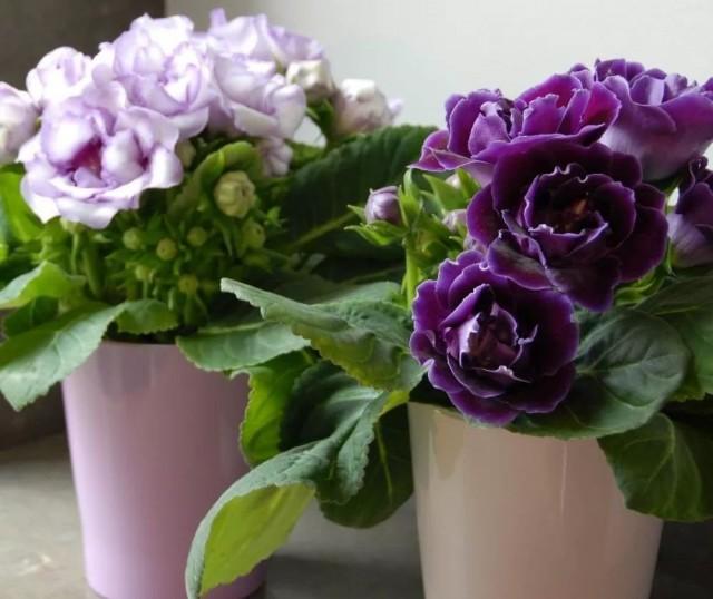 Глоксинии не любят жары, лучше всего цветут при 21-22 градусах