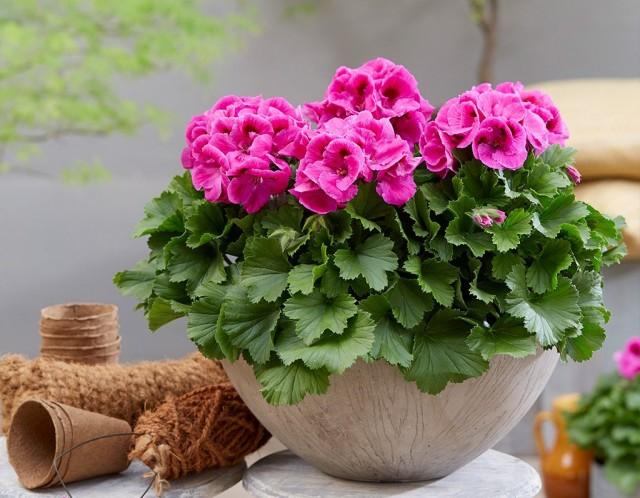 Уход за пеларгонией крупноцветковой ничем не отличается от ухода за красивоцветущими комнатными растениями